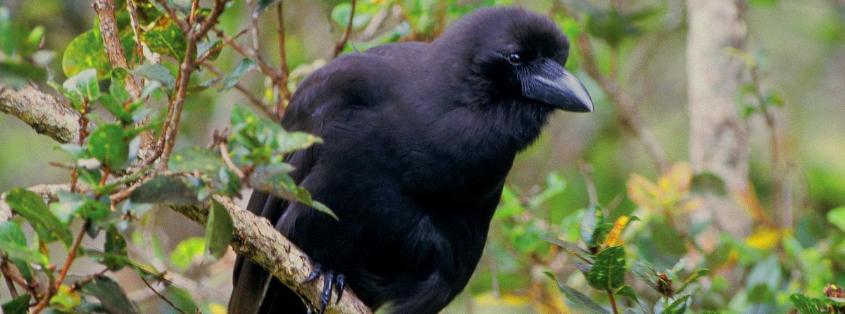 Doğa - Hayvanlar - Alala Bird - Karga - Nesli tükenmek