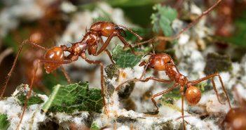 Crea.Tips - Doga - Hayvanlar - Karınca -Mantar - Tarim - Fungi Yetiştirme - Farming Ants